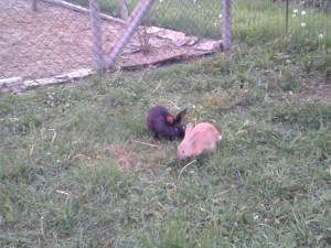 Conigli nel recinto