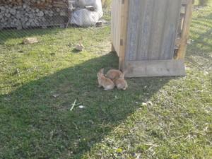 Conigli in accoppiamento